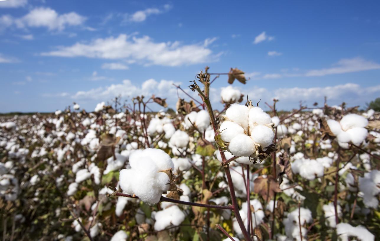 Coronavirus shakes Texas' Cotton Industry