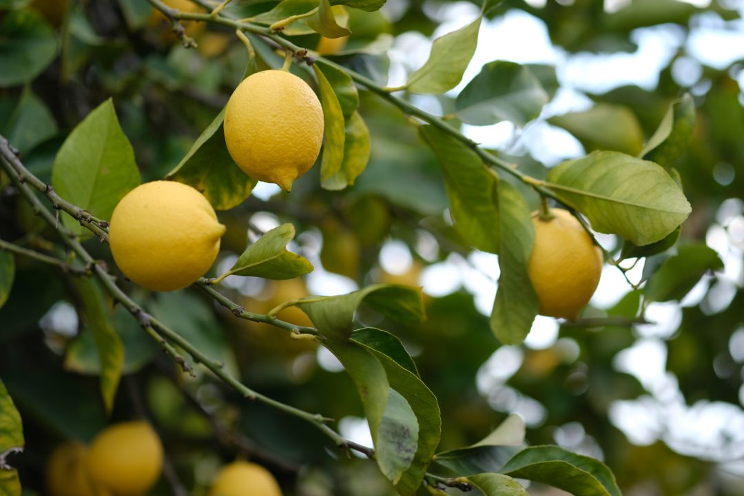 Tamaulipas estimates to harvest 15,000 tons of lemon in 2020