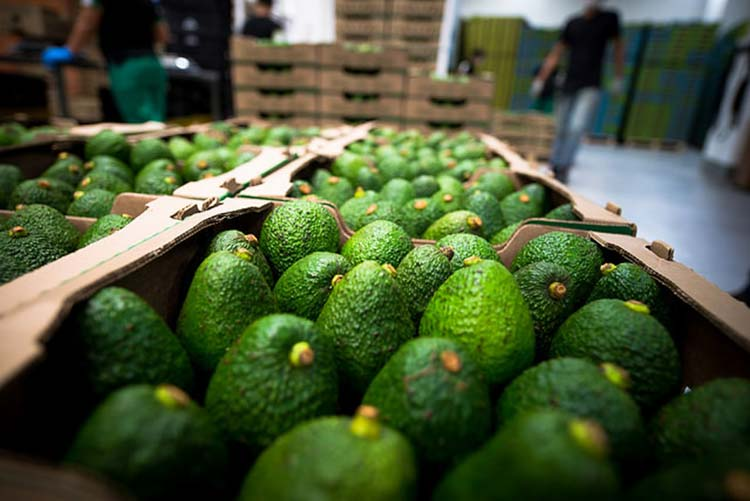 Jalisco resumes negotiations for the export of avocado