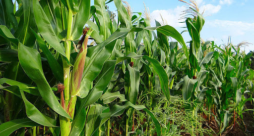 Corn production falls by 30% in Mexico